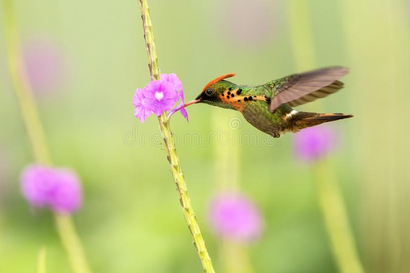 Tufted Coquette Lophornis ornatus hovering next to violet flower, bird in flight, caribean Trinidad and Tobago. Natural habitat, beautiful hummingbird sucking stock photography