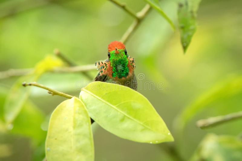 Tufted Coquette Lophornis ornatus sitting on branch, bird from caribean tropical forest, Trinidad and Tobago, beautiful. Colorful hummingbird sitting in the stock image