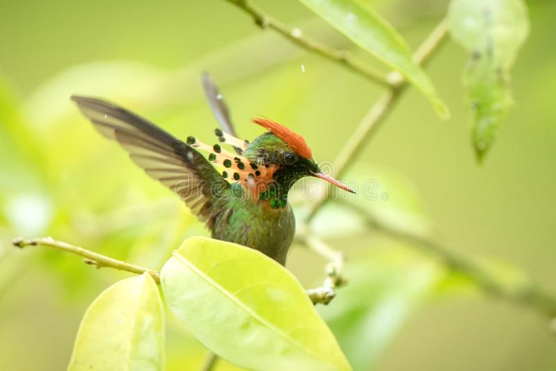 Tufted Coquette Lophornis ornatus sitting on branch, bird from caribean tropical forest, Trinidad and Tobago, beautiful. Colorful hummingbird sitting in the royalty free stock image