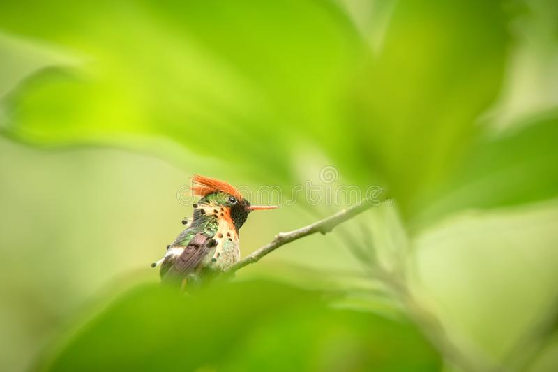 Tufted Coquette Lophornis ornatus sitting on branch, bird from caribean tropical forest, Trinidad and Tobago, beautiful colorful. Hummingbird sitting in the stock images