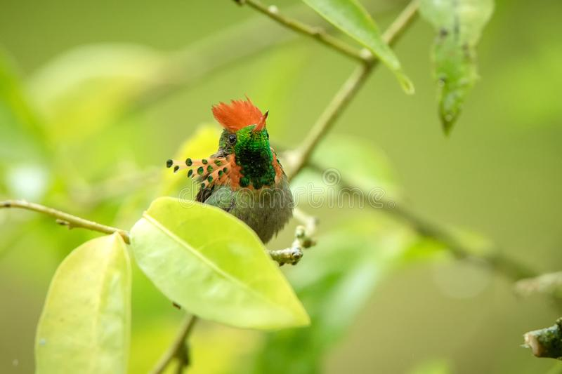 Tufted Coquette Lophornis ornatus sitting on branch, bird from caribean tropical forest, Trinidad and Tobago, beautiful. Colorful hummingbird sitting in the stock images