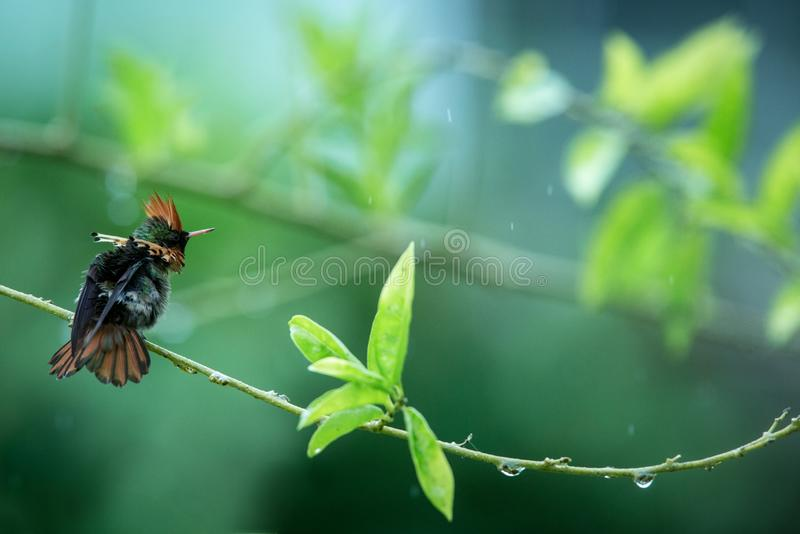 Tufted Coquette Lophornis ornatus sitting on branch, bird from caribean tropical forest, Trinidad and Tobago, beautiful. Colorful hummingbird sitting in the stock photos