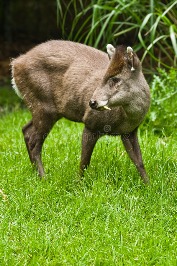 Tufted Deer. The small tufted Deer lives retiring in the woods of Birma and China royalty free stock photos