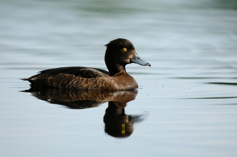 Tufted Duck (Aythya Fuligula). This is a female tufted duck stock photography