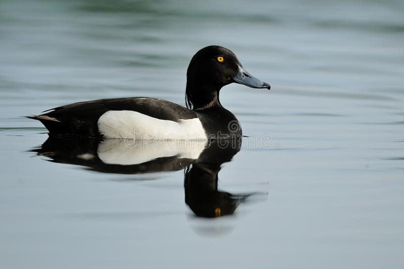 Tufted Duck (Aythya Fuligula). This is a male tufted duck royalty free stock photography