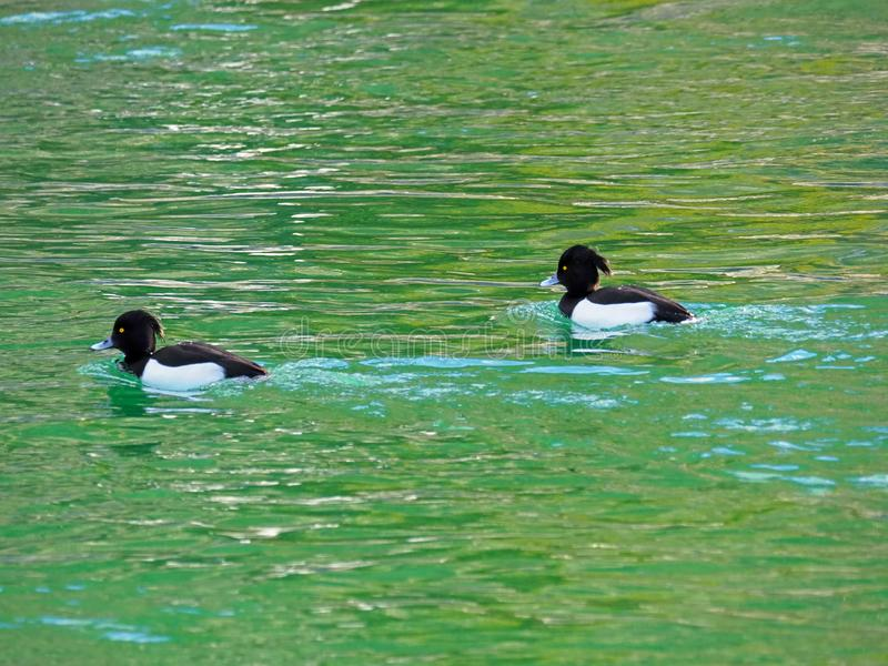 Tufted duck, diving duck in black white with yellow eyes swimming in green lake in Austria, Europe royalty free stock images
