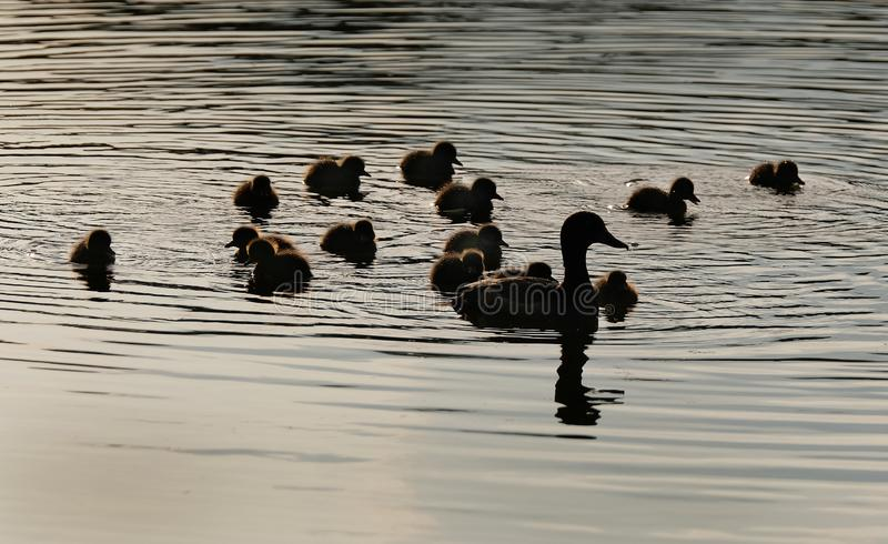 Tufted duck female with large brood of young. stock photo