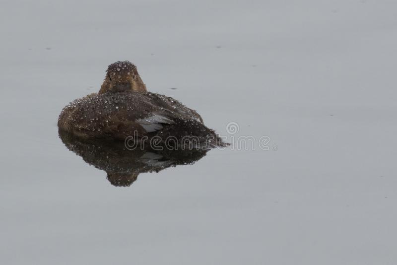 Tufted Duck in the UK. The floppy plumage at the back of the head is where this duck gets its name stock photo