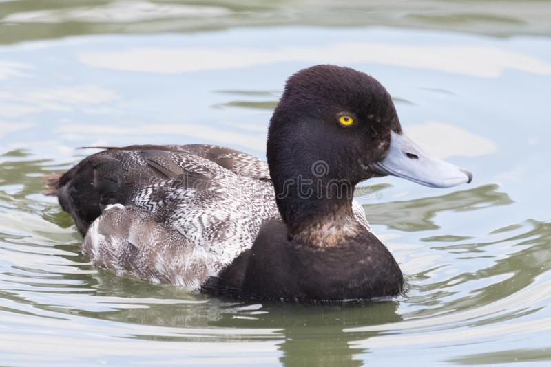 Tufted Duck in the UK. The floppy plumage at the back of the head is where this duck gets its name stock image