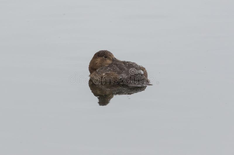Tufted Duck in the UK. The floppy plumage at the back of the head is where this duck gets its name stock images