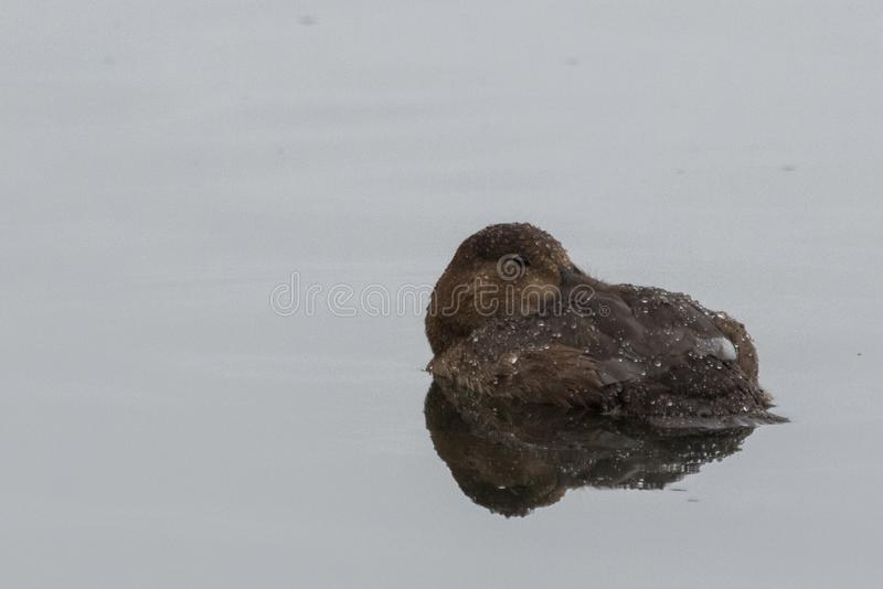 Tufted Duck in the UK. The floppy plumage at the back of the head is where this duck gets its name stock photography