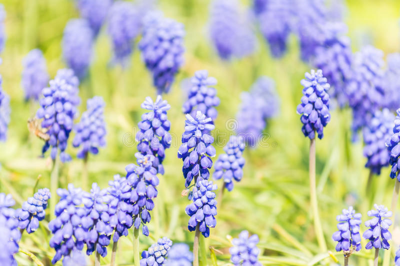 Download Tufted Grape Hyacinth Purple Flower Field Stock Image - Image of botanical, buds: 39515715