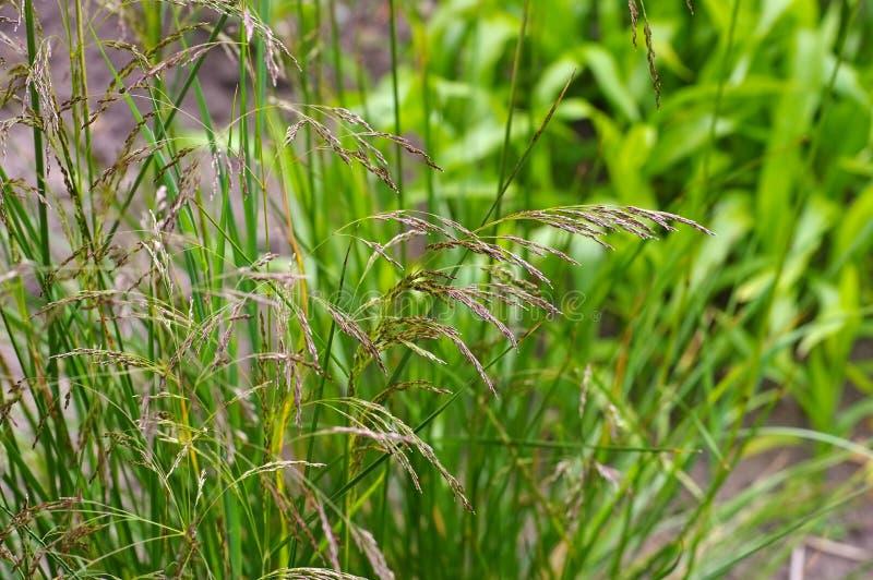 Tufted Hairgrass, Deschampsia cespitosa stock photo