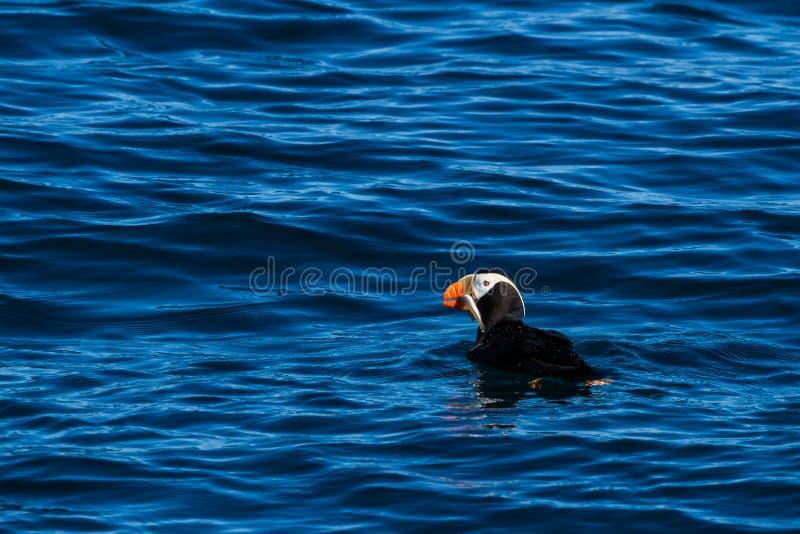 Tufted lunnefågel med fisken i dess näbb arkivbild