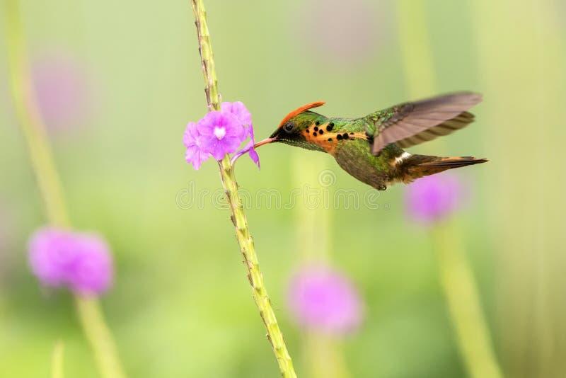 Tufted ornatus die van Flirtlophornis naast violette bloem, vogel, caribean Trinidad en Tobago tijdens de vlucht hangen stock fotografie