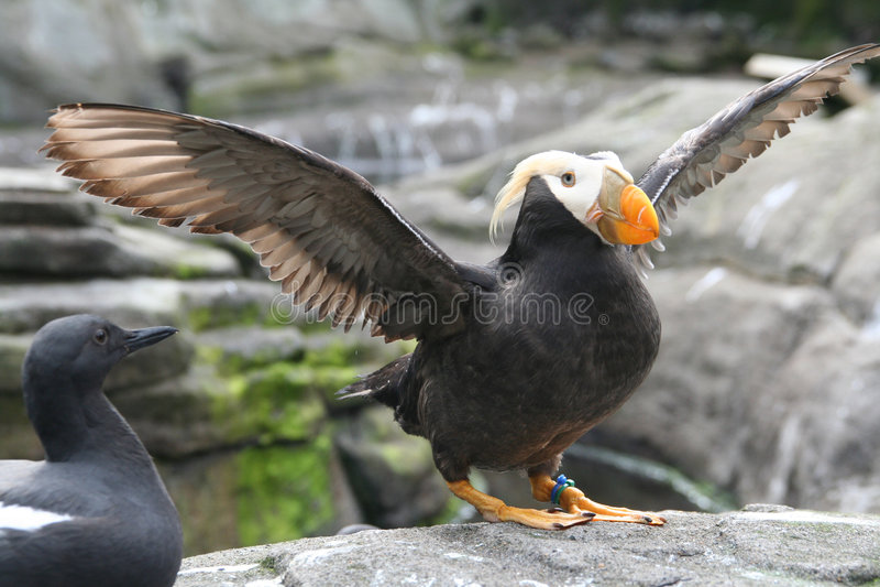Tufted papegaaiduiker, klappende vleugels royalty-vrije stock fotografie