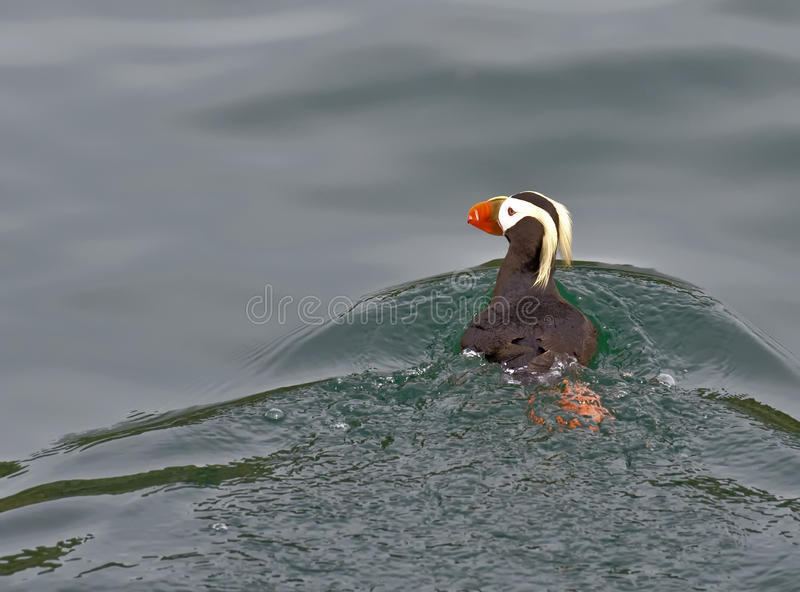 Tufted Puffin Stock Image