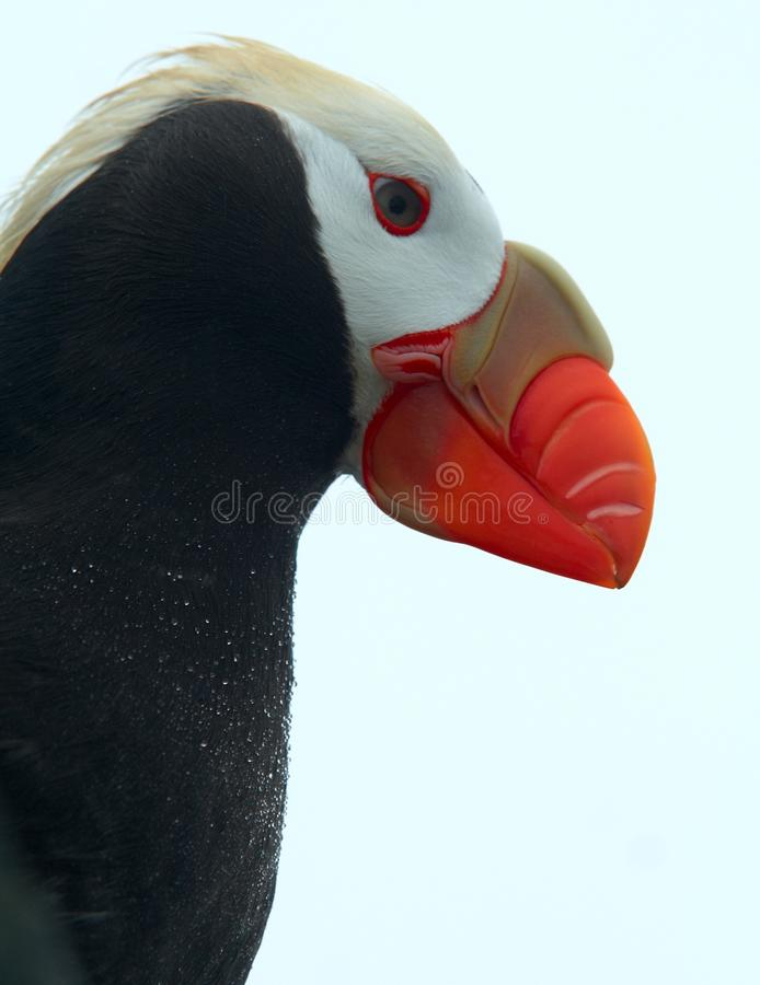 Tufted puffin royalty free stock photo