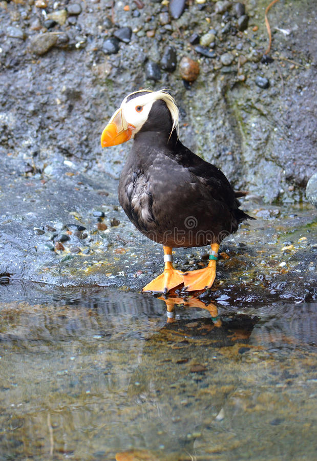Download Tufted puffin stock image. Image of fowl, webbed, bird - 26671717