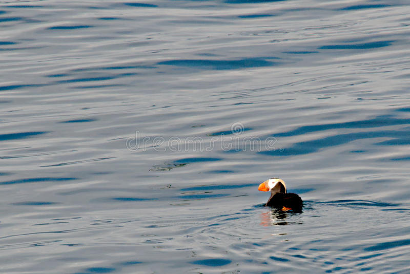 Tufted puffin swimming in Discovery Bay stock image