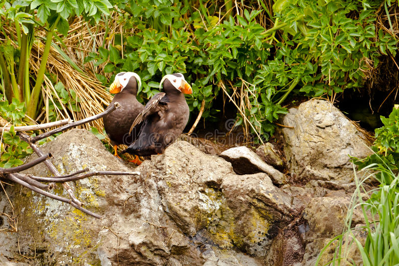 Download Tufted Puffins stock photo. Image of nesting, fratercula - 25294810