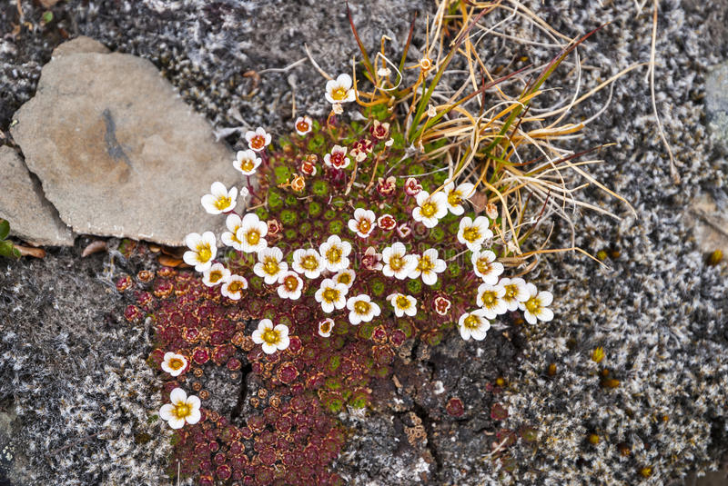 Tufted saxifrage (Saxifraga cespitosa) blossoming, Svalbard royalty free stock photography