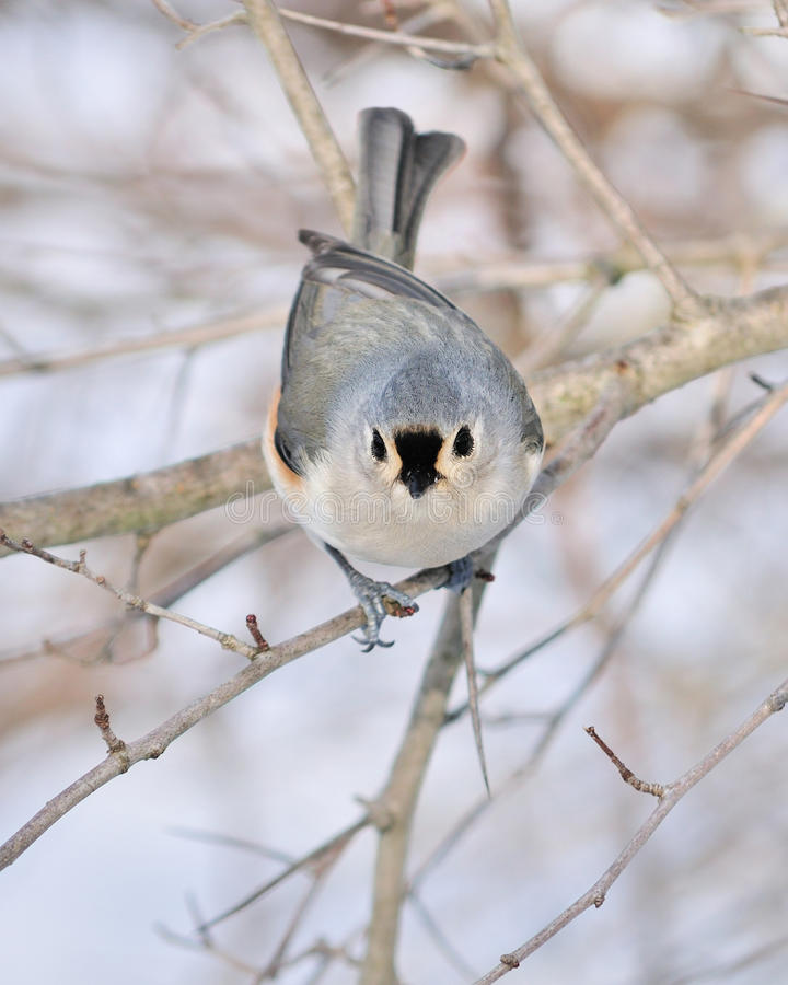 Download Tufted Titmouse stock image. Image of wildlife, tree - 12833333