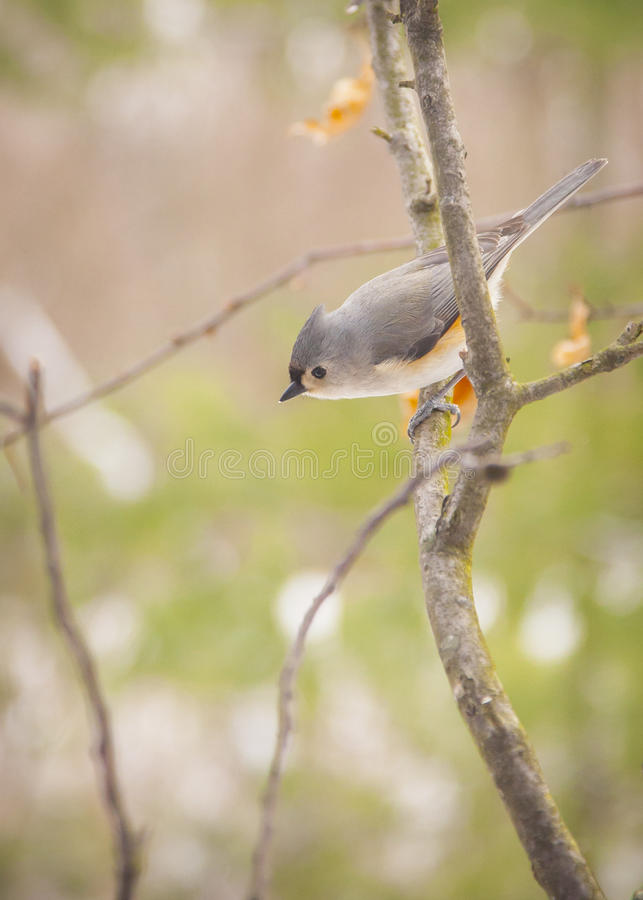 Download Tufted Titmouse Stock Images - Image: 28448774