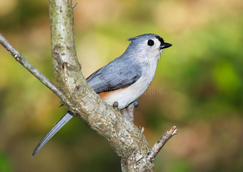 Download Tufted Titmouse stock image. Image of titmouse, tufted - 29609299