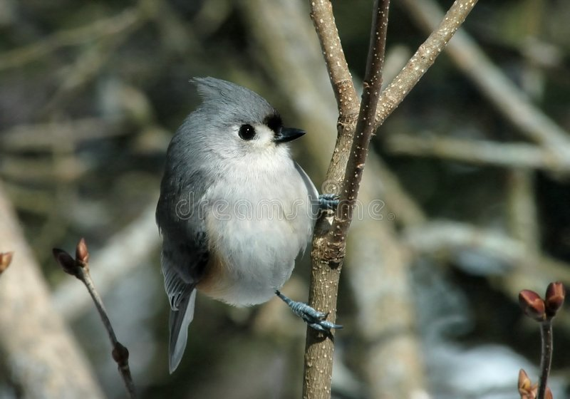 Download Tufted Titmouse stock image. Image of closeup, titmouse - 8416921
