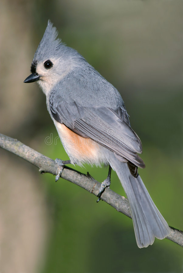 Download Tufted Titmouse stock photo. Image of small, avian, feathered - 9292906
