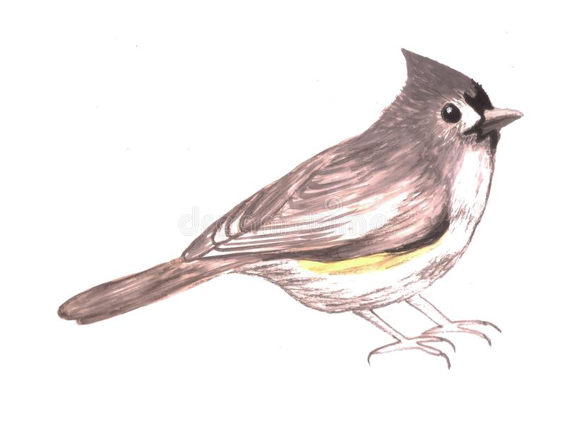 Tufted titmouse or Baeolophus bicolor isolated on white.  royalty free illustration