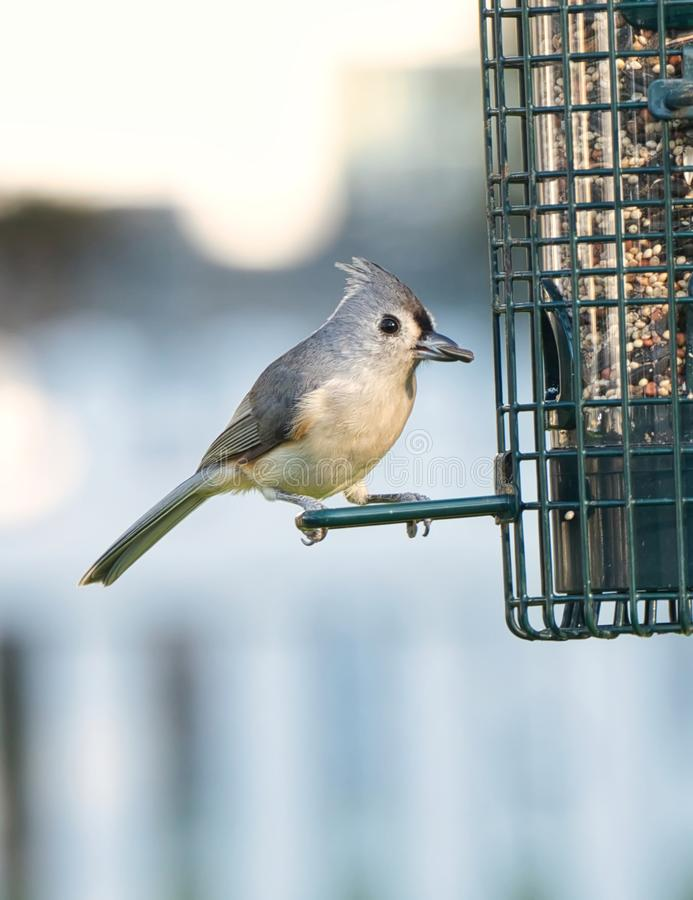 Tufted Titmouse at Feeder royalty free stock image