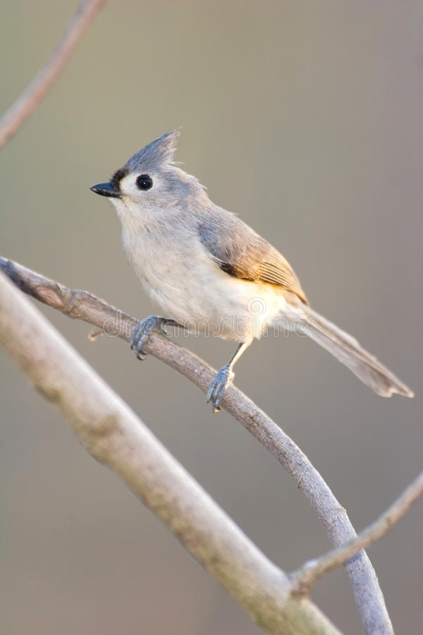 Download Tufted Titmouse Perched On Branch Royalty Free Stock Photo - Image: 17132715