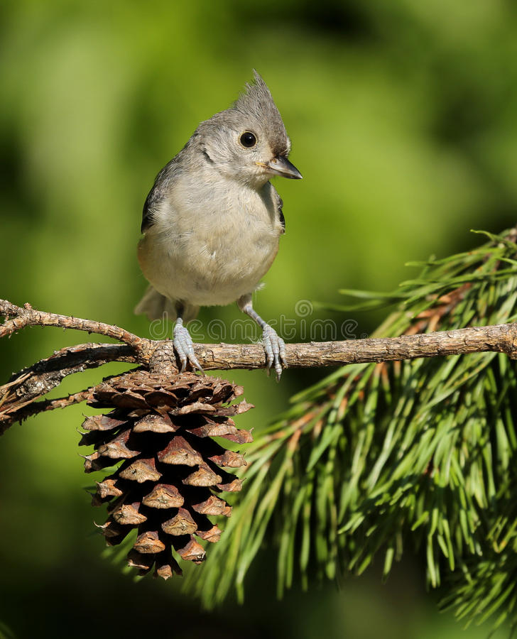 Tufted Titmouse. Perched on pine tree branch with pine cone royalty free stock images