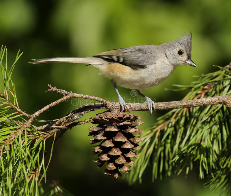 Tufted Titmouse. Perched on pine tree branch with pine cone stock photo