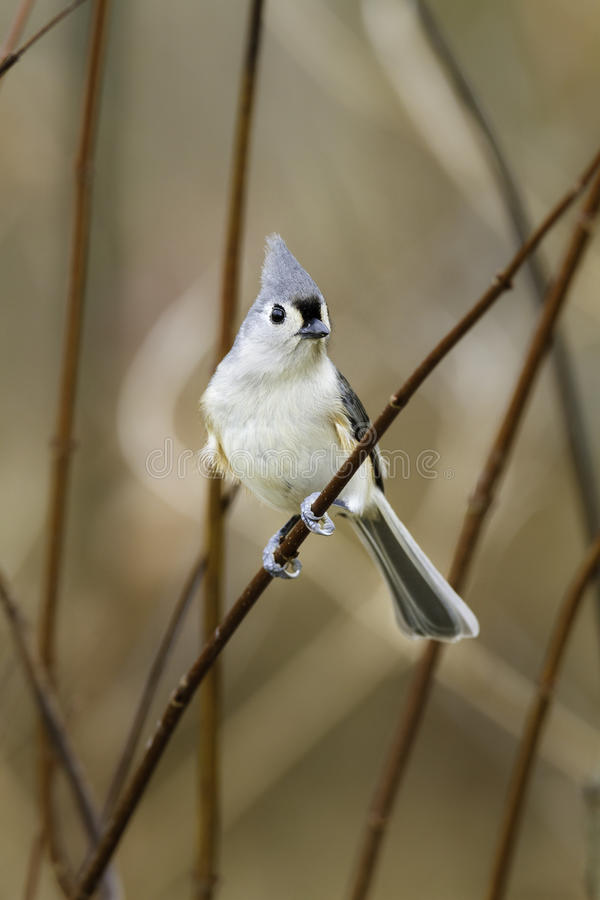 Download Tufted Titmouse In Thicket Stock Photo - Image: 83723703