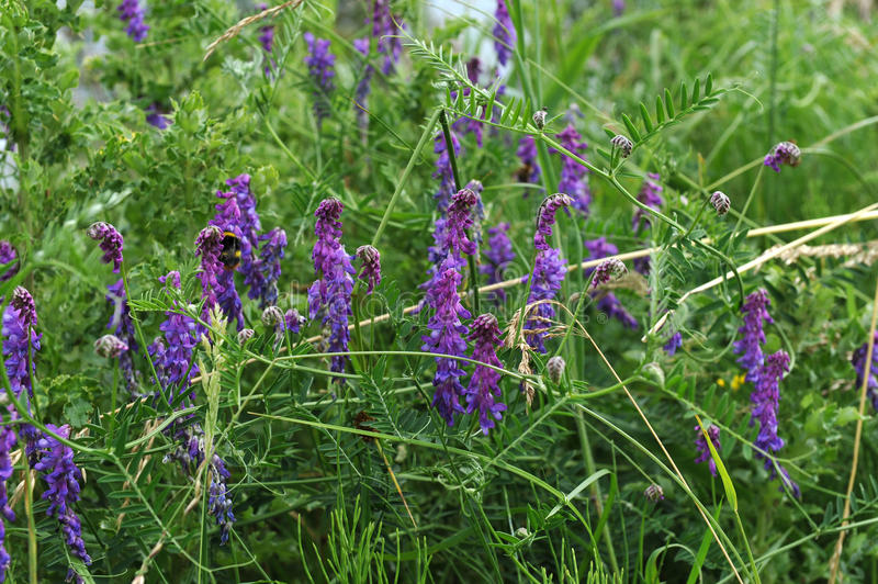 Download Tufted Vetch stock photo. Image of green, blooming, colour - 10347242