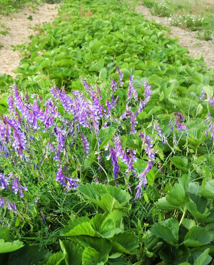 Bird Vetch grows wild in NYS strawberry patch royalty free stock image