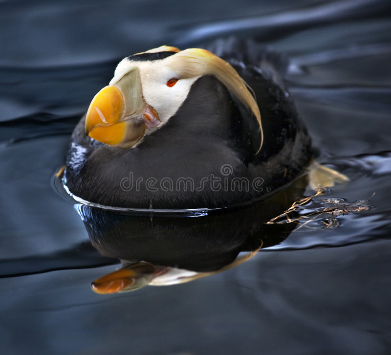 tufted vilande simning för alaska puffin royaltyfri bild