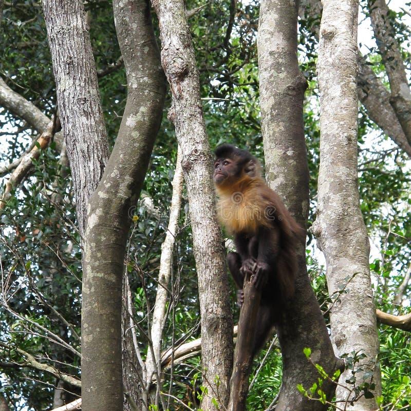 Tufter of Bruine Capuchin Aap in Monkeyland op Tuinroute, Zuid-Afrika royalty-vrije stock foto