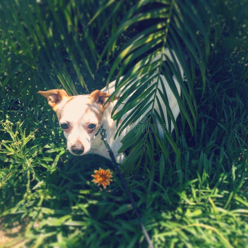 Tugga ljudligt chihuahuaen arkivbild