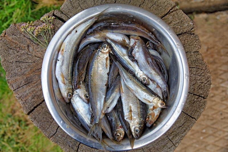 Tugun endêmico dos peixes de água doce ou arenques do sosvinskaya imagens de stock royalty free