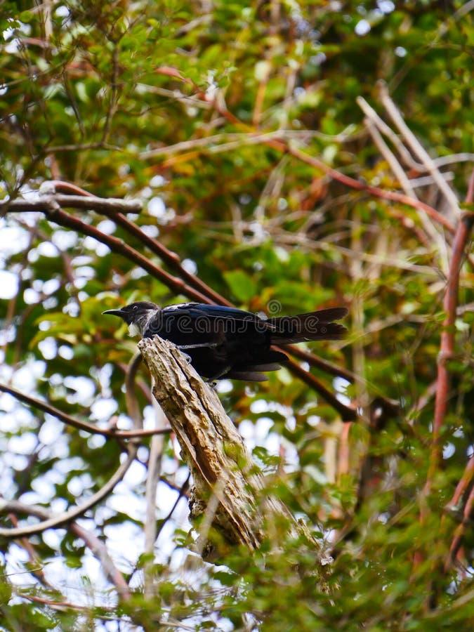 Tui新西兰鸟 库存图片