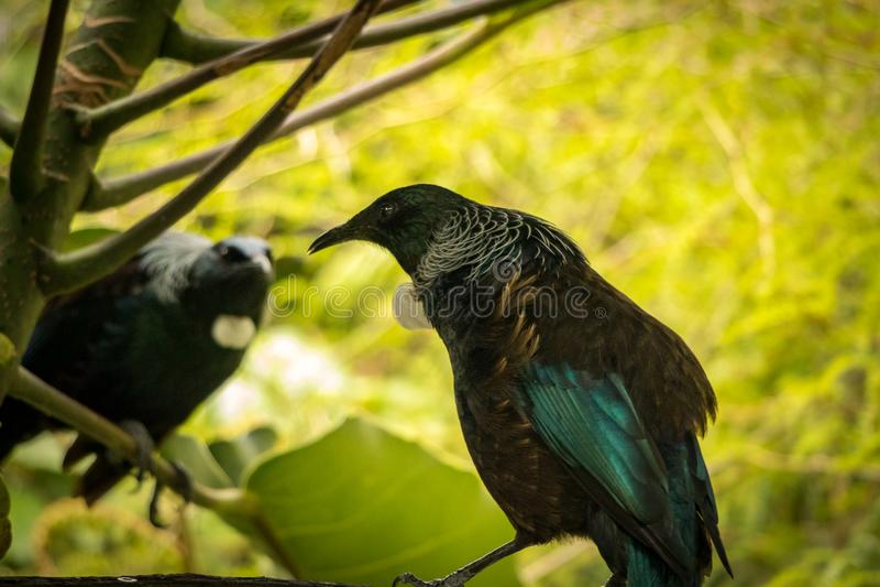 Tui Νέα Ζηλανδία εγγενές πουλί στοκ φωτογραφία με δικαίωμα ελεύθερης χρήσης