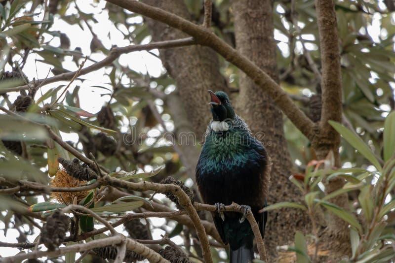 Tui, Νέα Ζηλανδία πουλί, που τραγουδά στο δέντρο Banksia στοκ εικόνες με δικαίωμα ελεύθερης χρήσης