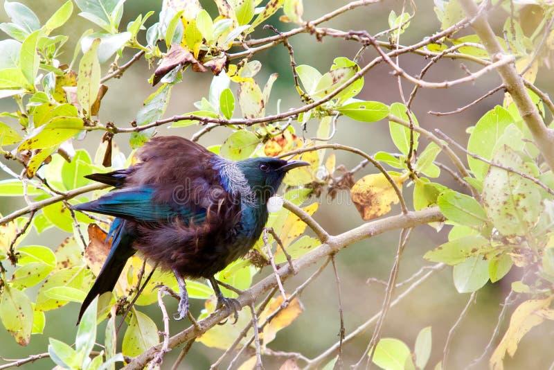 Tui πουλί που σκαρφαλώνει σε έναν κλάδο ενός δέντρου στοκ φωτογραφία