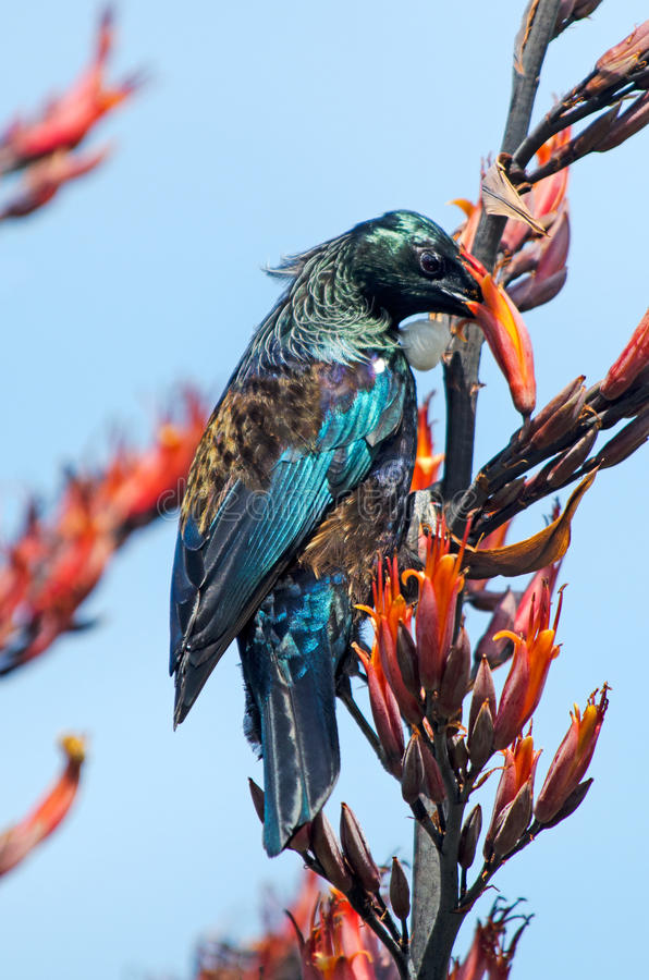 Tui -新西兰的鸟 库存图片