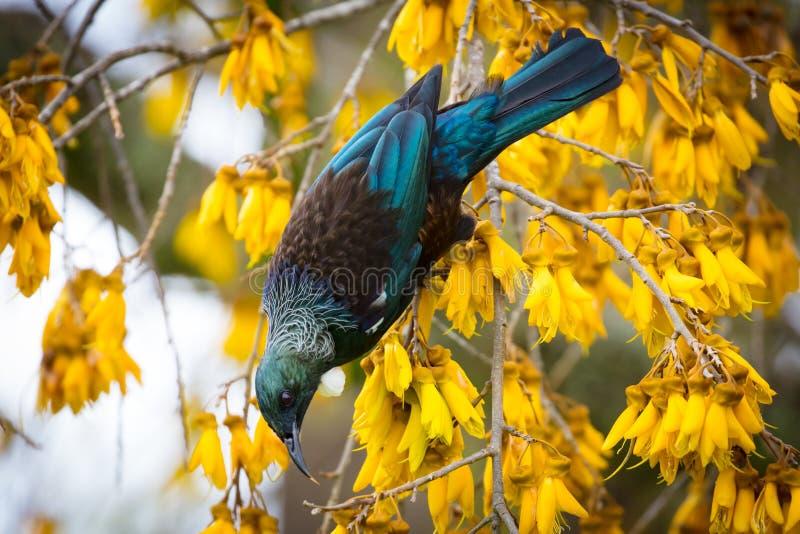 Tui Bird fotos de archivo