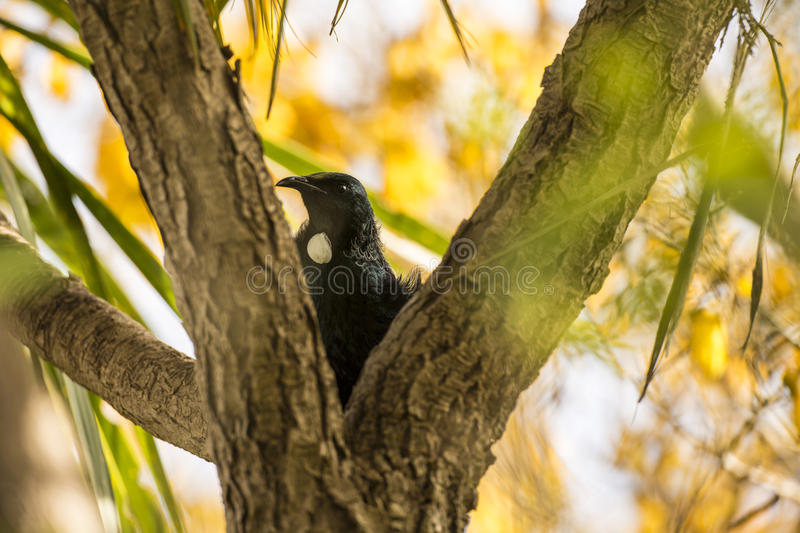 Download Tui Bird stock photo. Image of detail, bell, perch, black - 33661288